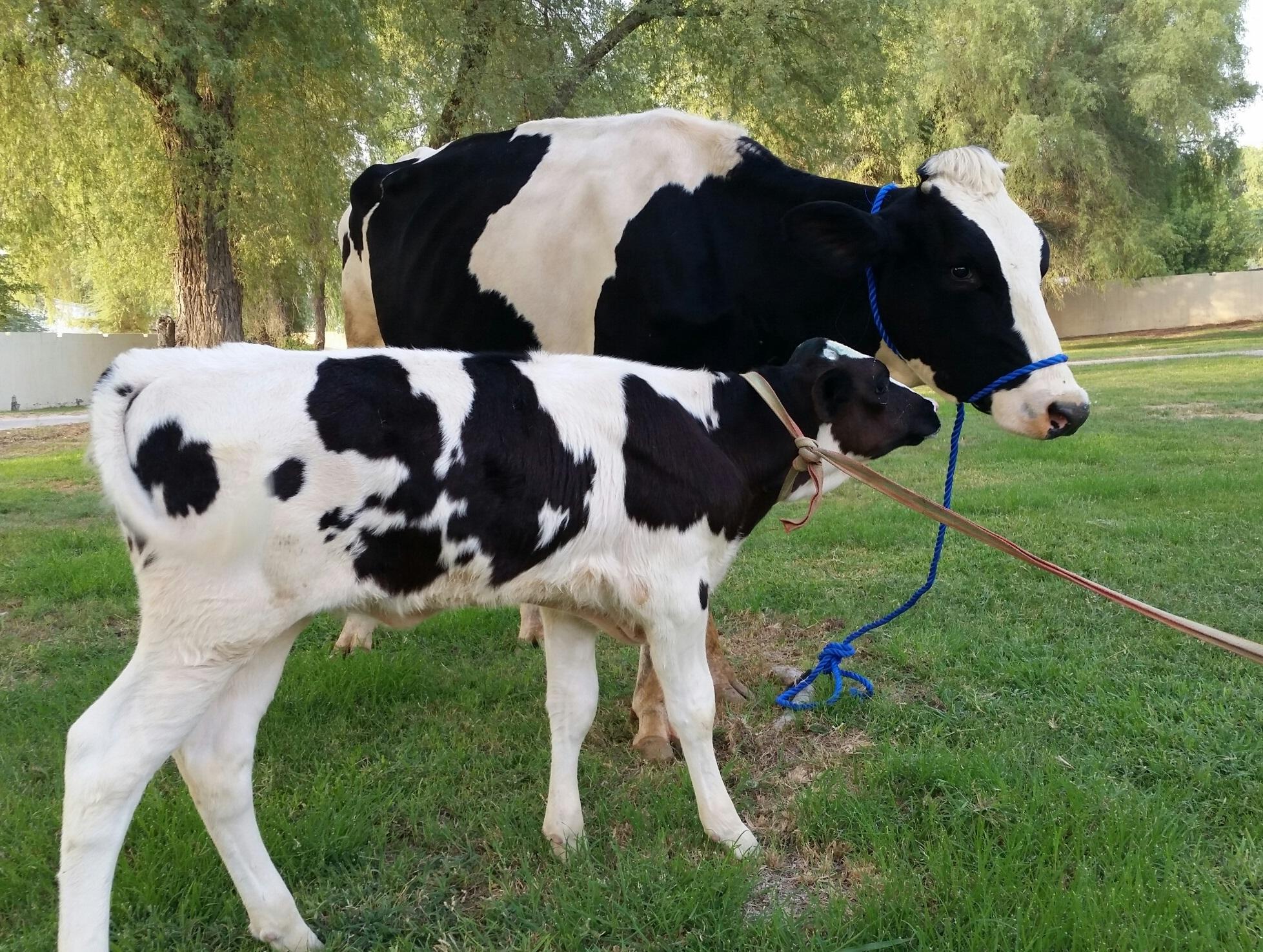 السالمونيلا عند الأبقار