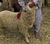 A Kashmiri Muslim man checks the teeth of a sheep to determine its age at a livestock market ahead of the Eid al-Adha festival in Srinagar September 21, 2015. Muslims across the world are preparing to celebrate the annual festival of Eid al-Adha or the Feast of the Sacrifice, which marks the end of the annual hajj pilgrimage, by slaughtering goats, sheep, cows and camels in commemoration of the Prophet Abraham's readiness to sacrifice his son to show obedience to Allah. Eid al-Adha in Kashmir falls on September 25. REUTERS/Danish Ismail
