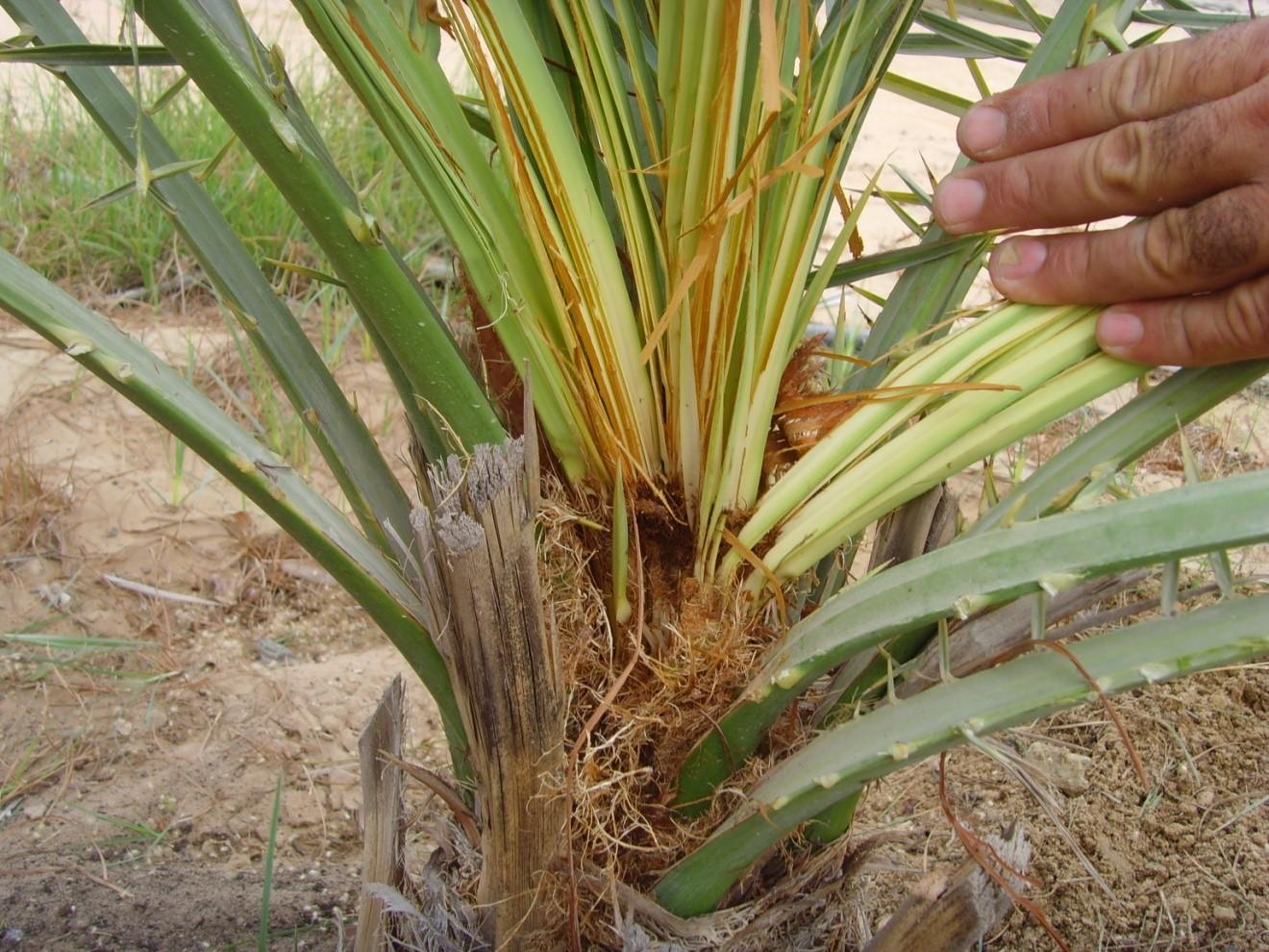 المكافحة الكيميائية لأهم الحشرات التي تصيب أشجار النخيل