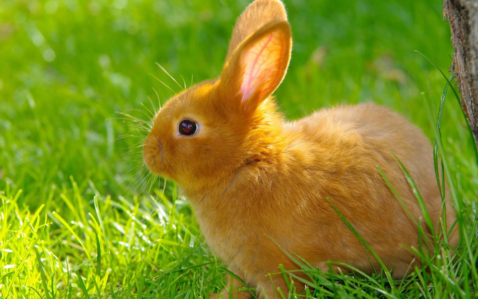 بطاريات (أقفاص) الأرانب