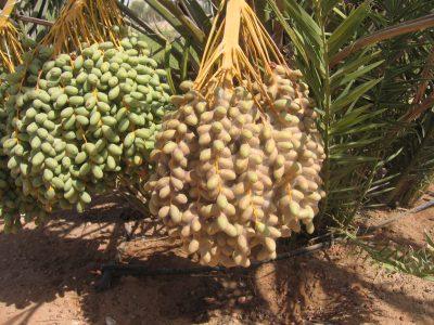 الشكل (10) اختلاف شدة لإصابة بعنكبوت الغبار على العذوق على الشجرة الواحدة