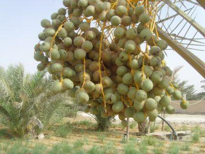 الشكل ( 2) تلون ثمار التمر باللون الأحمر نتيجة الإصابة بعنكبوت الغبار