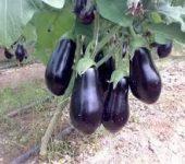 الشكل (2) ثمار باذنجان سوداء