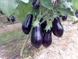 زراعة وخدمة محصول الباذنجان
