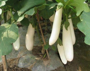 الشكل (4) باذنجان ذو ثمار بيضاء