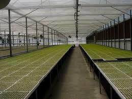 الشكل (9) زراعة الأشتال في مشاتل مكيفة